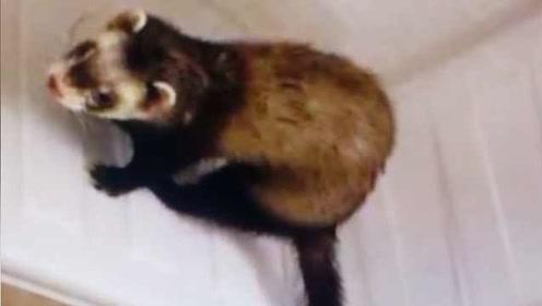 呆萌小动物闯餐馆乘凉,一看竟是保护动物鼬獾,被放生时蒙圈