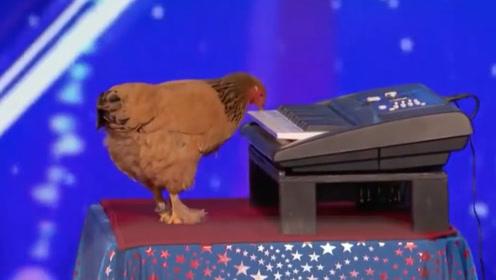 见过会下蛋的鸡,那你见过会弹钢琴的母鸡吗?演奏的还是名曲