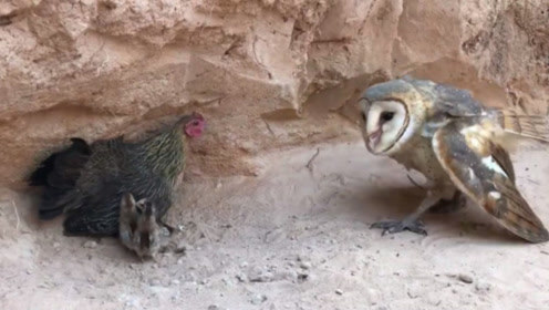 猫头鹰盯上小鸡,捕食的方式打破想象,看完忍不住笑出眼泪