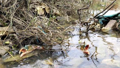 虎子闯入红树林抓螃蟹,废弃的养殖场藏了好货,抓了不少螃蟹