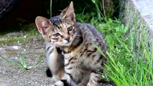 萌宠 小土猫越来越冷欠揍了,天天欺负大母猫!