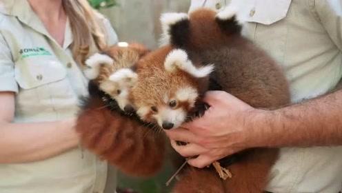 罕见!美国一家动物园诞下三胞胎小熊猫 可爱萌翻众人
