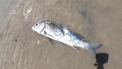 鱼存活不需要水?而是在沙漠中生活五万年?是谁给它的生命力!