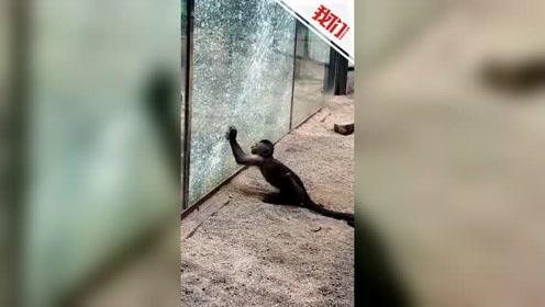 实拍:动物园猴子拿石头砸碎玻璃墙 自己吓到弹飞游客吓到大叫
