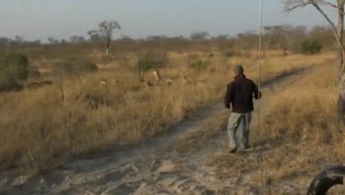 南非向导追踪狮子足迹 不料8头狮子突然从其面前跳出