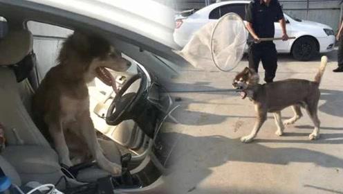 """市民下车忘关窗,竟遭恶犬""""抢车"""""""
