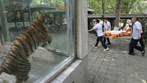 动物园出现戏剧性一幕,让老虎胆战心寒,害怕得直发抖!