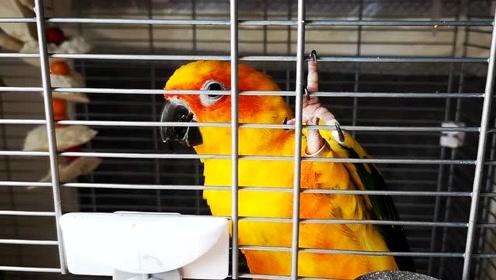 买了新的鸟粮,果然敦敦和花花在一起时才会挑,鹦鹉也会攀比啊