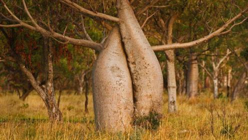 """非洲神奇""""瓶子树"""" 一棵树能储2吨水 可供一户人饮用半年"""