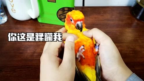 主人让鹦鹉躺手里按摩,这么好的服务,为什么鹦鹉一脸的不情愿?