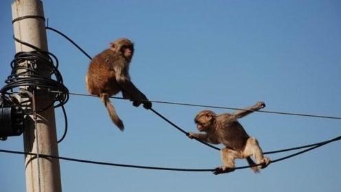 """猴子爬上电线杆玩耍,不小心踩断电线,下一秒被电成""""火猴子""""!"""