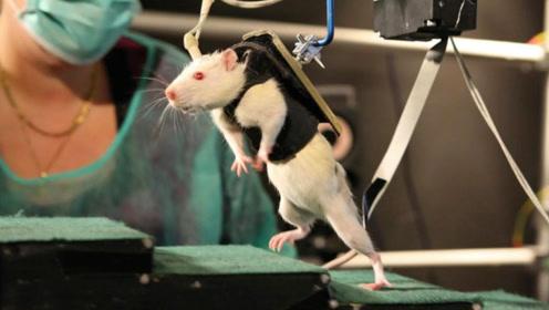 """老外给老鼠吃""""伟哥"""",镜头拍下罕见画面,看完简直太疯狂!"""
