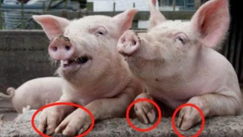 """猪的指甲竟然价值堪比""""黄金"""",养猪的人要后悔了吧,快来涨知识"""