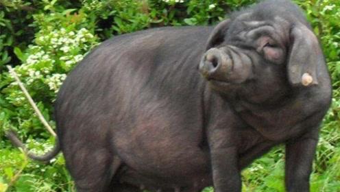 震惊世界!猪身上这个部位能让人体断肢重生 已诞生首例