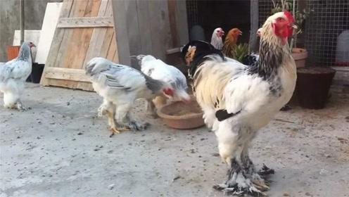 """世界上""""最霸气""""的鸡,最大能长1.2米,网友:一锅炖不下?"""