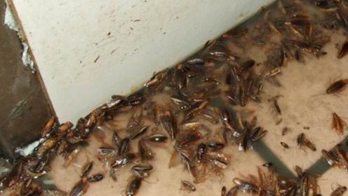 蟑螂最怕它,把它放在墙角,蟑螂来一只灭一只,一晚上就能灭干净