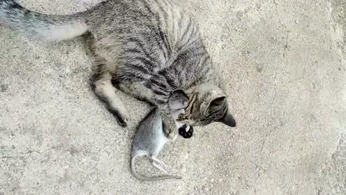 一只猫和老鼠玩耍,虽然以前是天敌,现在却成为好朋友!