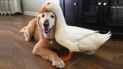 当呆萌的鸭子,遇上狗狗会发生什么?看完让人捧腹!
