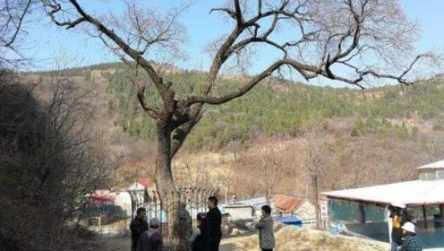 """山东村内藏""""国宝"""",全球唯一降龙木,十里都是清香"""