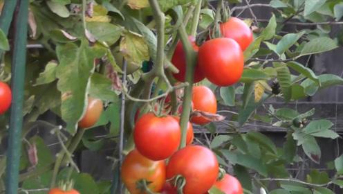 """西红柿和""""它""""一块煮,血管干净,血糖正常,常吃还预防血栓"""