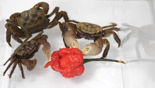 """""""死神辣椒""""真的是世界最辣吗?看着螃蟹的反应,瞬间明白了!"""