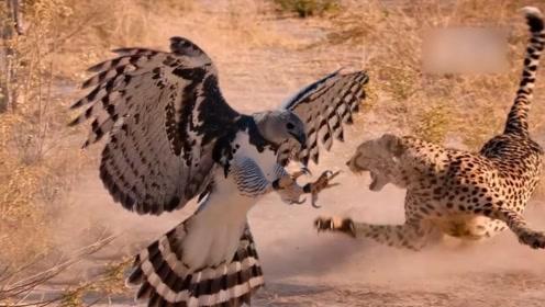 花豹惨遭老鹰捕食,花豹的反应让人难以置信,竟然非常的害怕