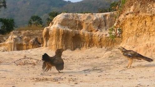 """自然界的""""老鹰捉小鸡"""",面对危险,动物的母爱同样伟大"""