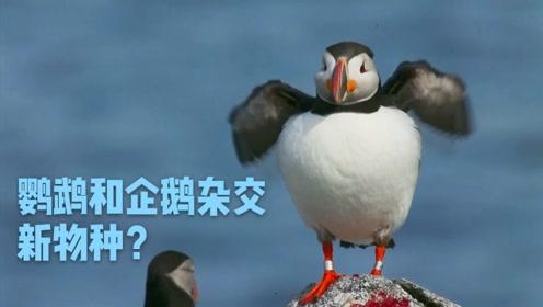 这种动物又像企鹅又像鹦鹉 可惜比两者都蠢...