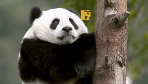 大熊猫坠落不会摔伤?毛厚肉多就是好