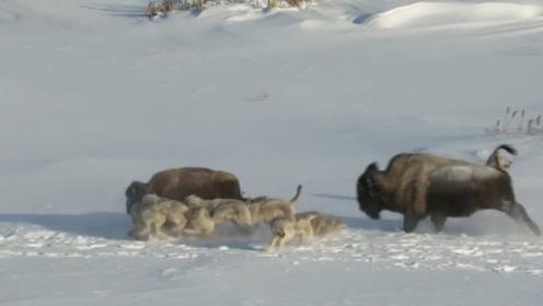 牦牛被狼围攻,即将逃出包围时,背后同伴的举动把场面推向高潮