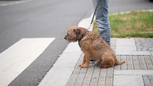 狗狗看见车祸现场,乖乖遵守交通规则,没有对比救没有伤害