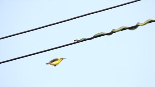 一条蛇在高压电线上袭击小鸟,下一秒意外发生,镜头记录全过程
