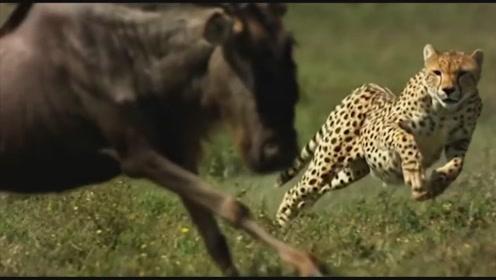 猎豹百米冲刺逮住小角马的同时,角马妈妈也同时杀到