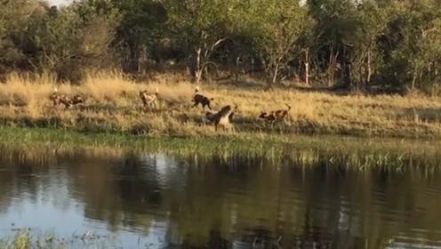 鬣狗到湖边喝水,却不想遇到野狗群,吓得瞬间跳进湖泊中