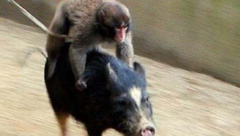非洲人训练猴子抓野猪,这场面笑得我肚子疼,镜头记录全过程