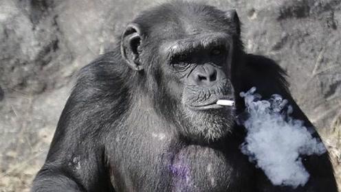 动物的压力也大了?大猩猩迷上抽烟一天一包,饲养员不给就发火!