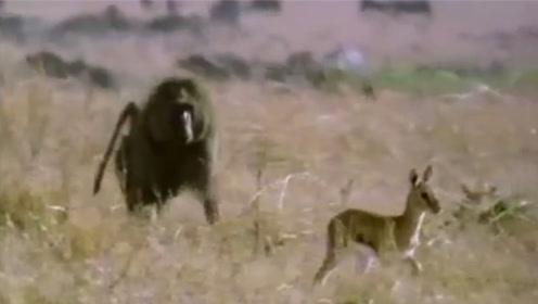 狒狒尾随小野鹿,发起攻击瞬间,小鹿突然暴走,镜头记录全过程