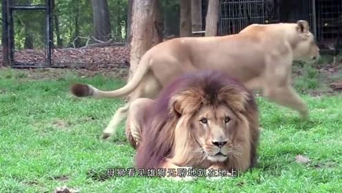 动物园里的爱情:母狮寸步不离紧挨着雄狮,雄狮:磨人的小妖精