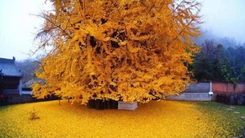 李世民曾亲手栽下一棵银杏树 1400年过去了现在什么样?