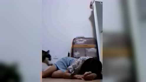 """女孩假装晕倒期待""""二哈""""救援 不料狗子反复一动作笑翻网友"""