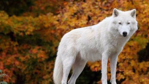 """凶猛的""""狼""""到底怕什么?说出它天敌的名字,狼表示:不敢惹"""