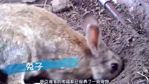 为啥兔子一喝水,就会断肠死亡?看完才知道其中的奥秘