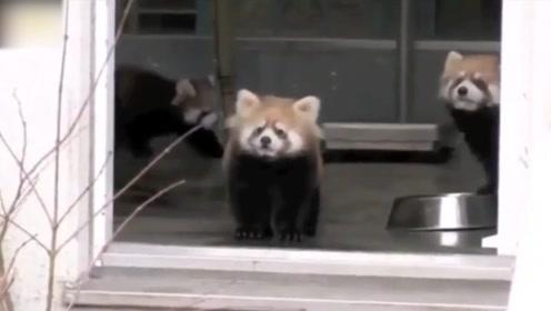 可爱的小熊猫,第一只差点笑出八块腹肌,分享给你们!