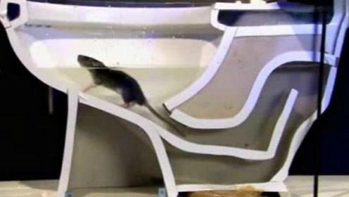 老鼠是怎么从下水道爬进厕所的?简直防不胜防,上厕所要小心了!