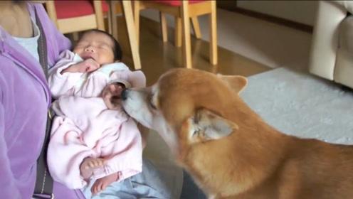 小狗子第一次见到小主人,立马凑上来,左闻右看的满脸都是好奇