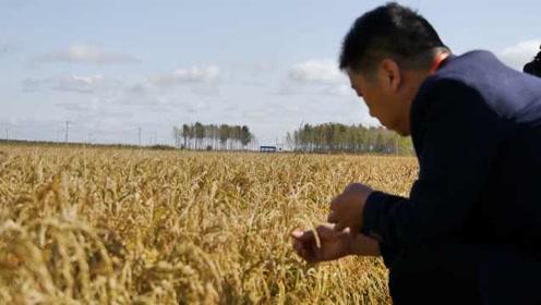 南方人到东北当庄主,黑土地上种的稻米可生吃