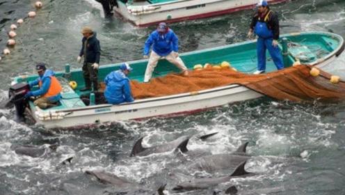 海豚被日本人猎杀,海湾一片血红 你们的仁慈在哪里!