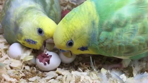 小鸟还没出壳,鹦鹉夫妇就将蛋壳全部吃掉了,这是亲生的吗?