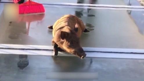 野猪误闯玻璃天桥,被吓得四肢发软不敢走路,野猪:再见人类世界