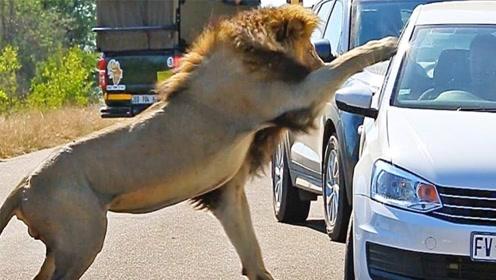 游客在车里观察狮子,狮子下一个举动让人意外,镜头记下全过程!